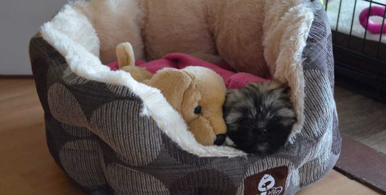 Lhasa Apso puppy in bed with toy dog