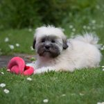 7 things to know about the Lhasa Apso temperament