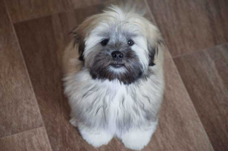 How to groom Lhasa Apso dog