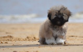 Little Lion Dog Lhasa Apso Beach