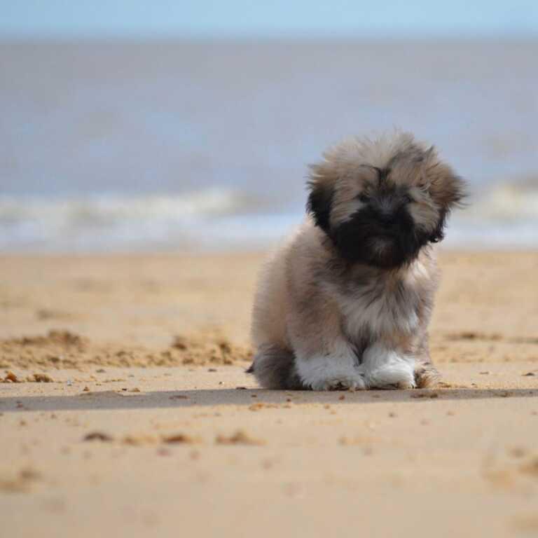 Little Lion Dog Lhasa Apso Beach