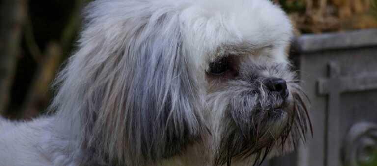 Lhasa Apso close up photo of puppy