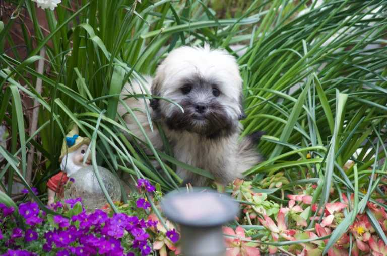 Lhasa Apso sitting in a flower bed