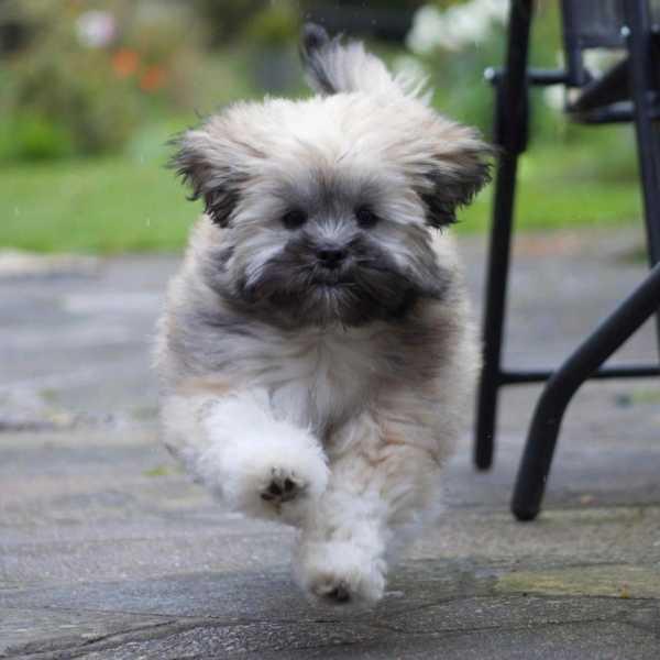 Lhasa Apso puppy sprinting in the garden