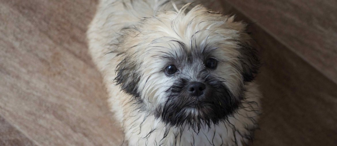 Cute wet lhasa apso puppy