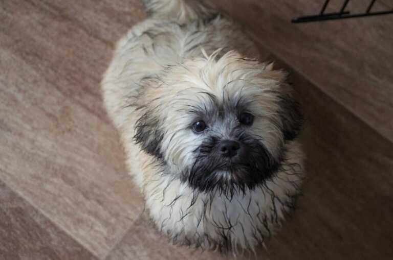 Cute wet lhasa apso puppy