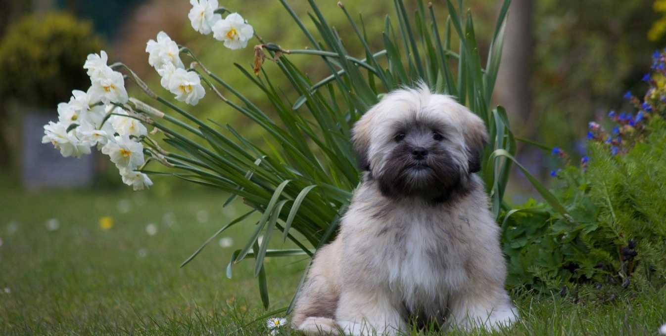 Lhasa Apso dog sitting on the grass