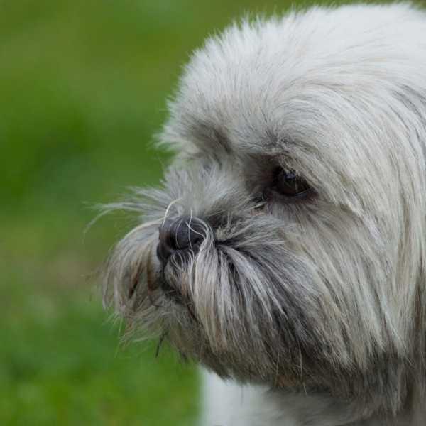 Lhasa Apso looking stern guard dog