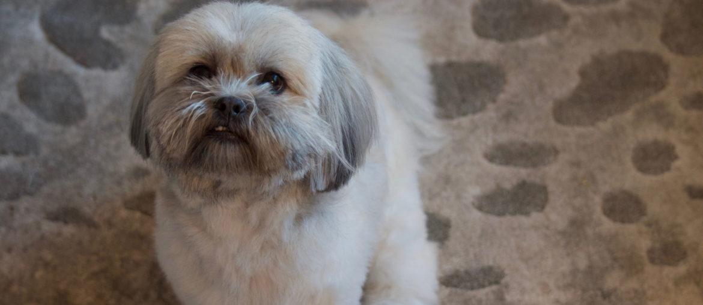 Fluffy Lhasa Apso dog sitting