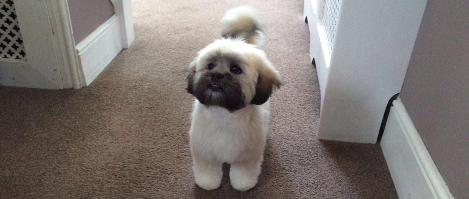 Lhasa Apso puppy back from the groomers