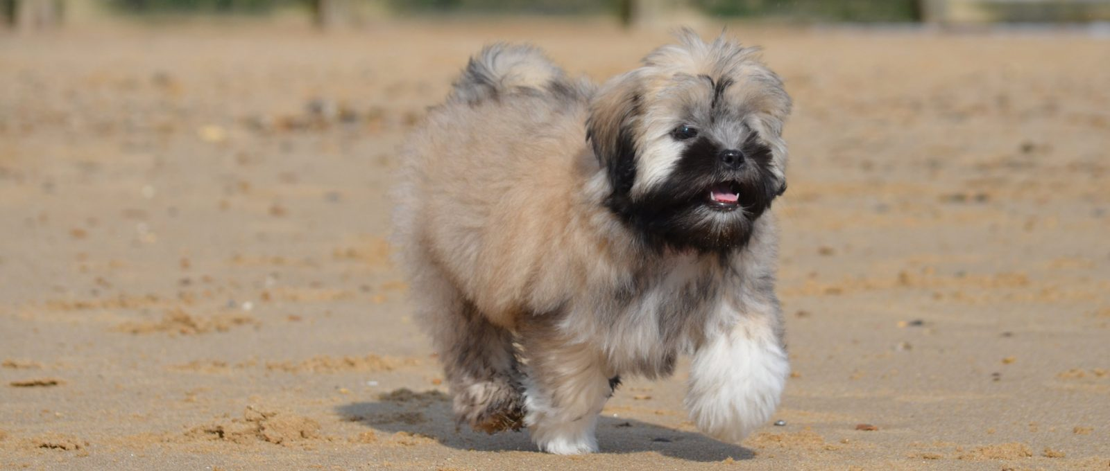 Lhasa Apso puppy running along the sand on the beach