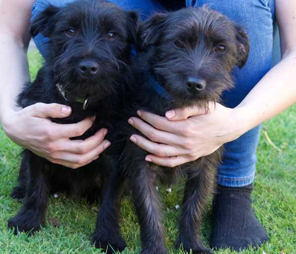 Patterdale terrier twin dogs