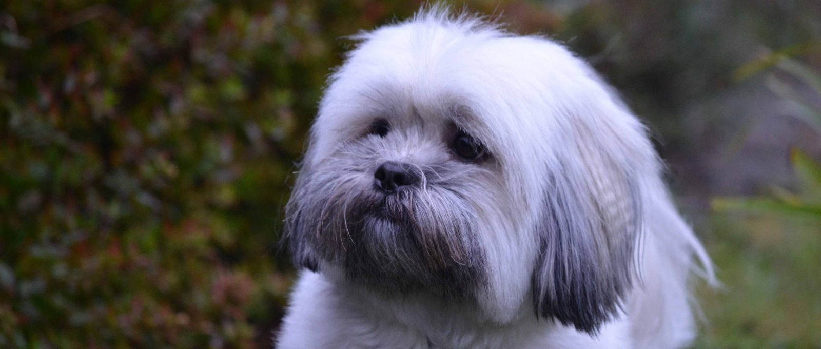 Lhasa Apso close up in the garden