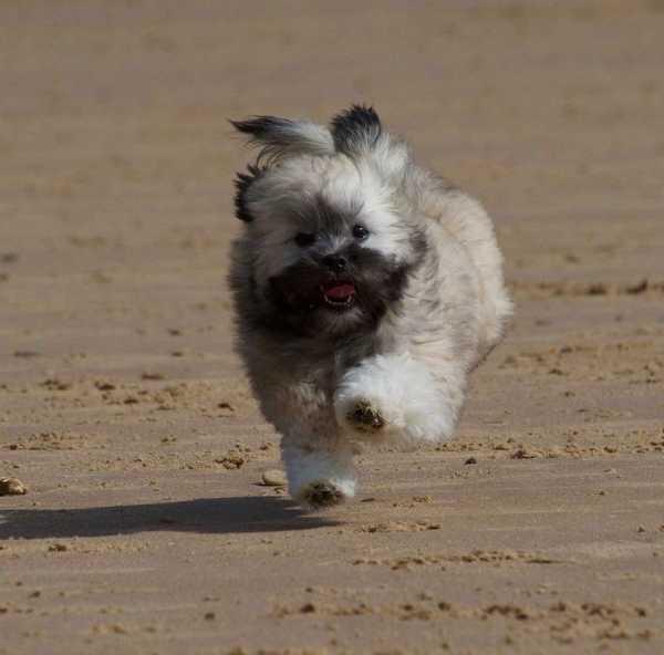 Lhasa Apso puppy running along a beach
