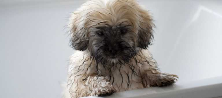Fluffy wet Lhasa Apso dog