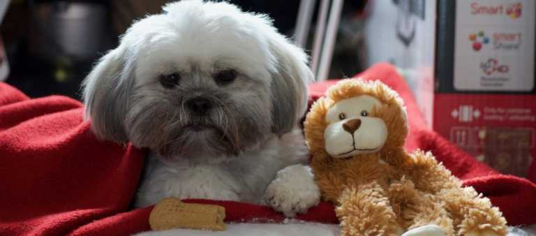 Lhasa Apso dog with monkey toy