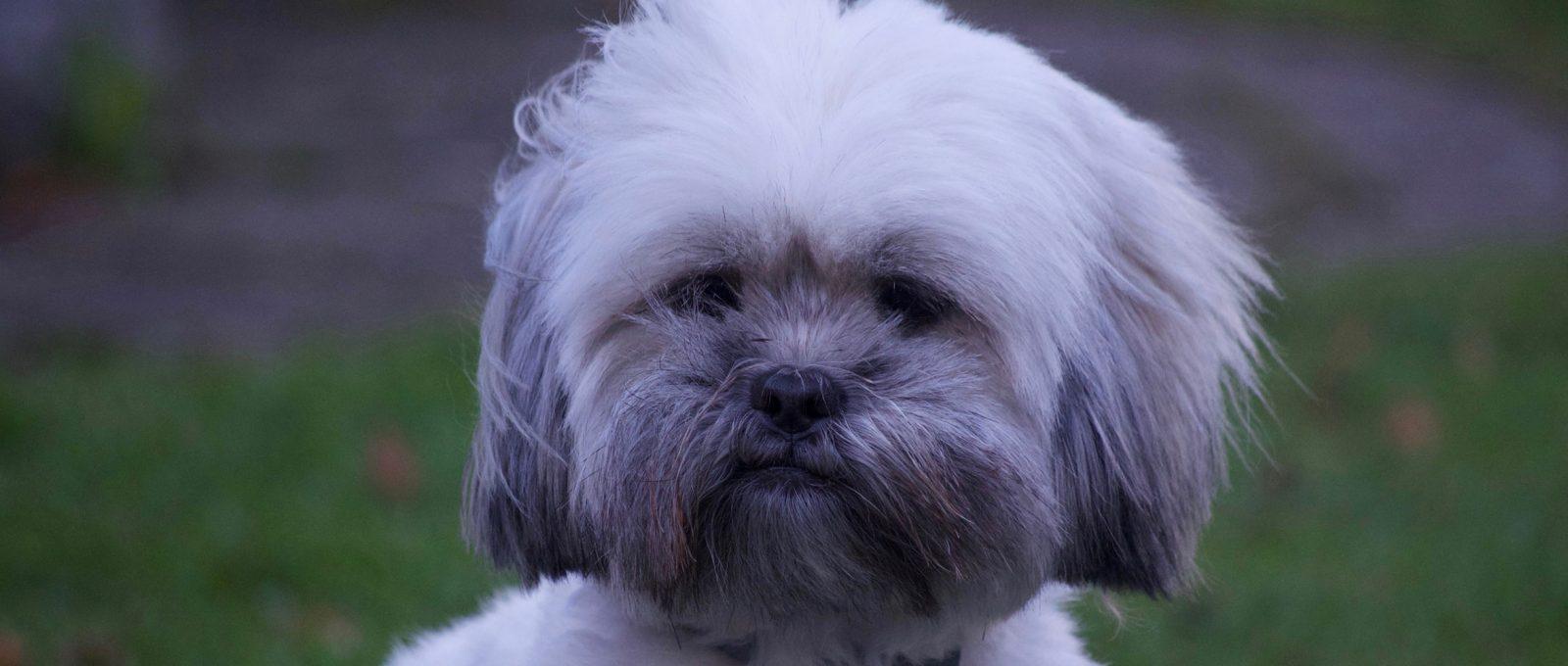 Lhasa Apso dog staring