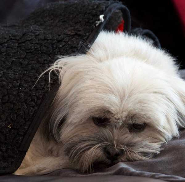 Lhasa Apso hiding from fireworks under a blanket