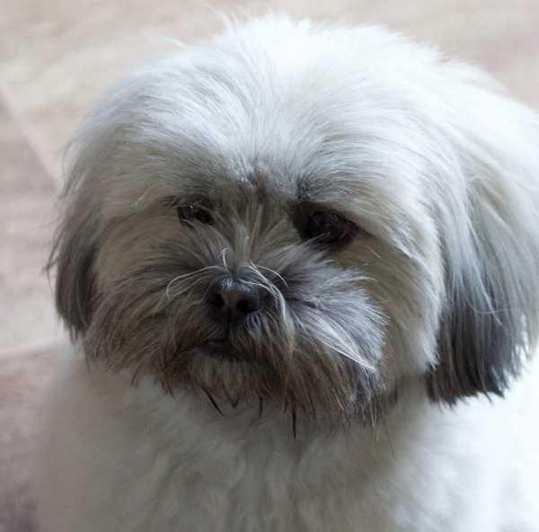 Lhasa Apso puppy 18 months old