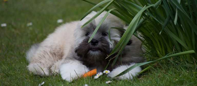 Small Lhasa Apso puppy with a carrot stick