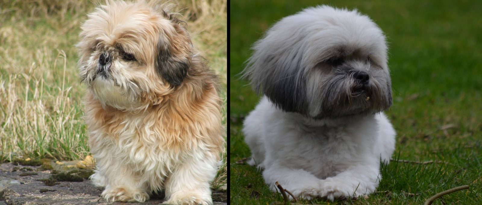 Shih Tzu dog (left) vs Lhasa Apso dog (right)