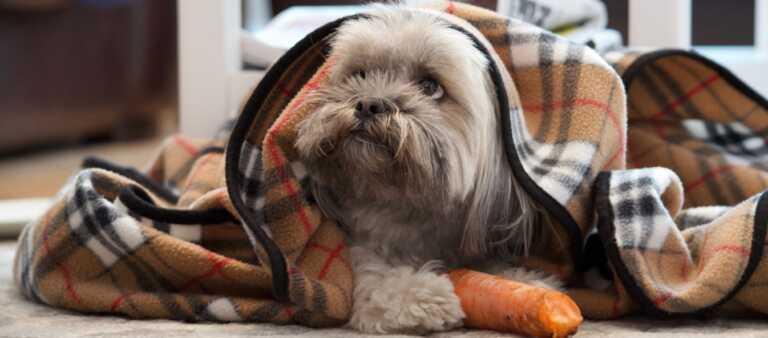 Lhasa Apso puppy looking sad under a blanket