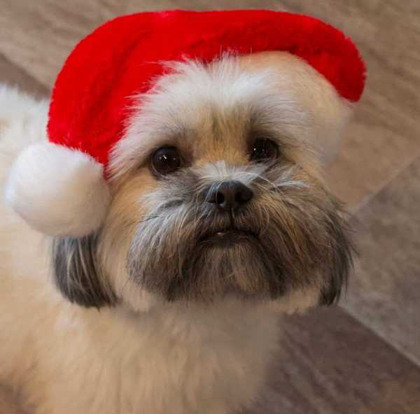 Puppy wearing a Christmas hat
