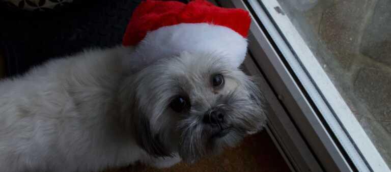 Puppy wearing Santa hat