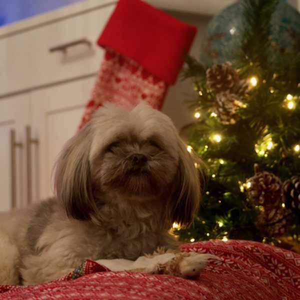 Puppy with a christmas blanket