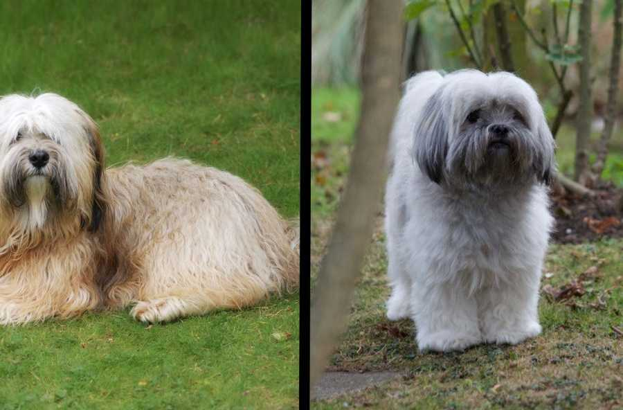 Comparison between a Tibetan Terrier (left) and Lhasa Apso (right)