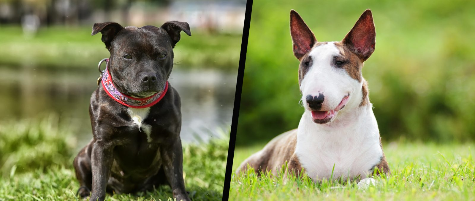 Staffordshire Bull terrier and English Bull Terrier
