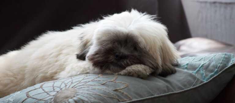 Lhasa Apso sleeping
