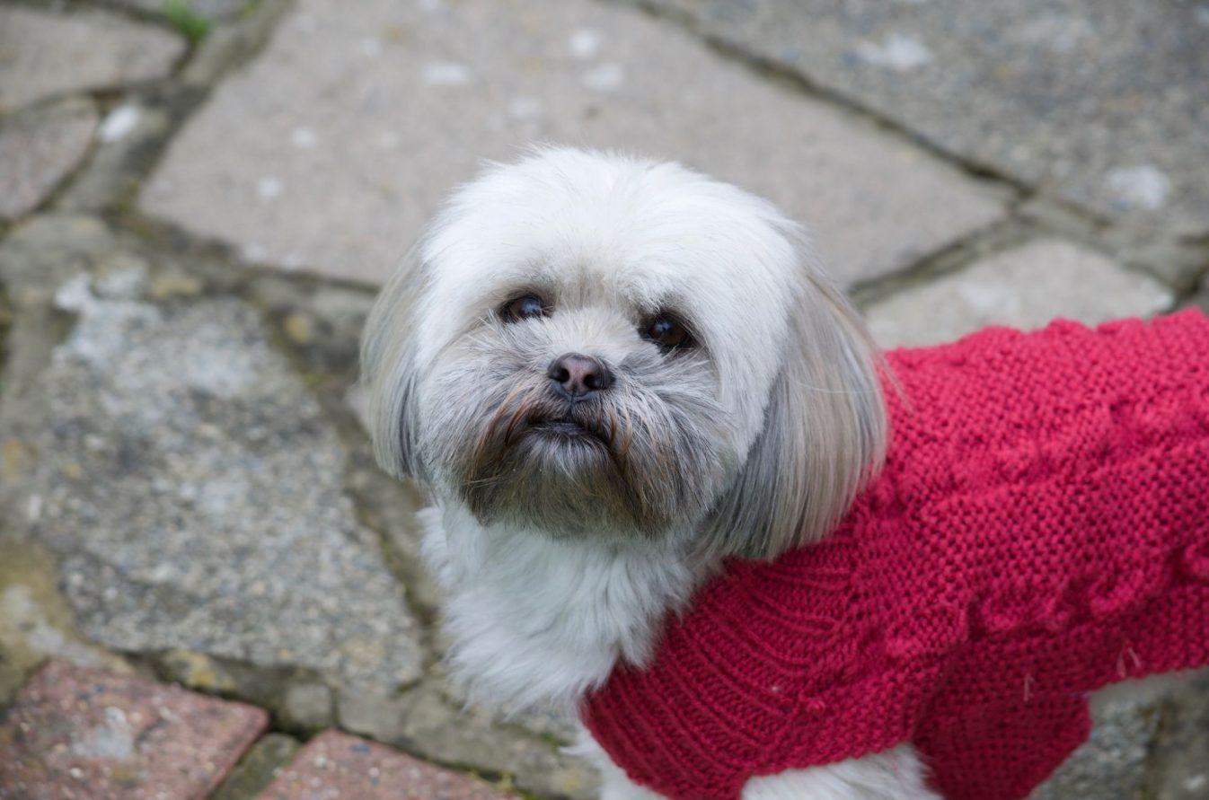 Lhasa Apso wearing a pink coat