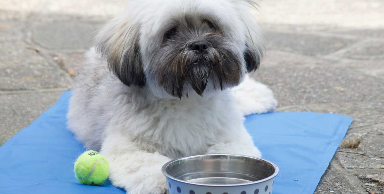 Lhasa Apso dog sitting on a cool mat in hot summer weather