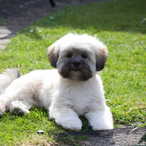Lhasa Apso puppy sitting on grass
