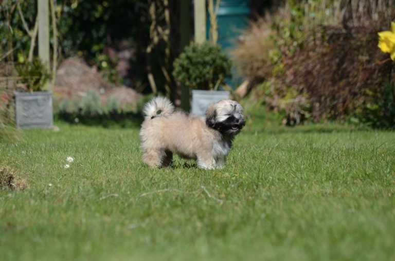 Lhasa Apso that is in the garden looks like it is laughing and intelligent