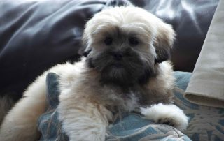 Lhasa Apso puppy sitting on the sofa