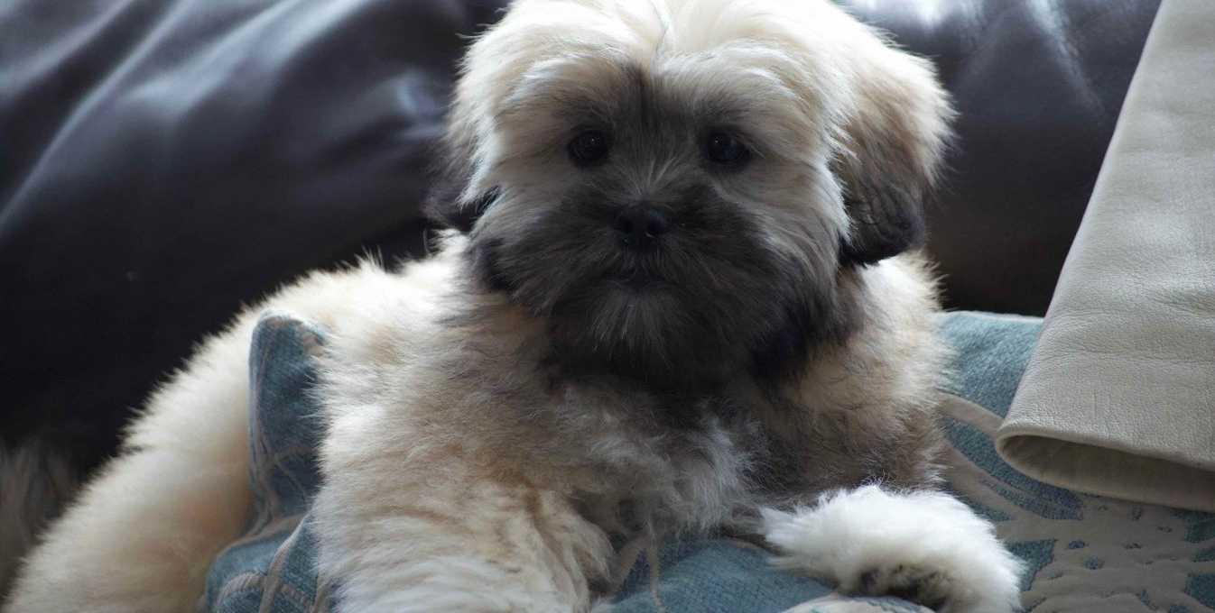 Lhasa Apso puppy sitting on the sofa