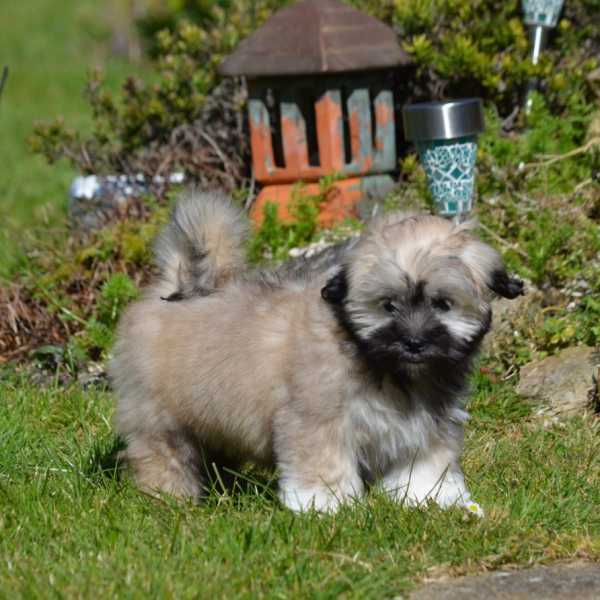 Lhasa Apso puppy sitting on sofa