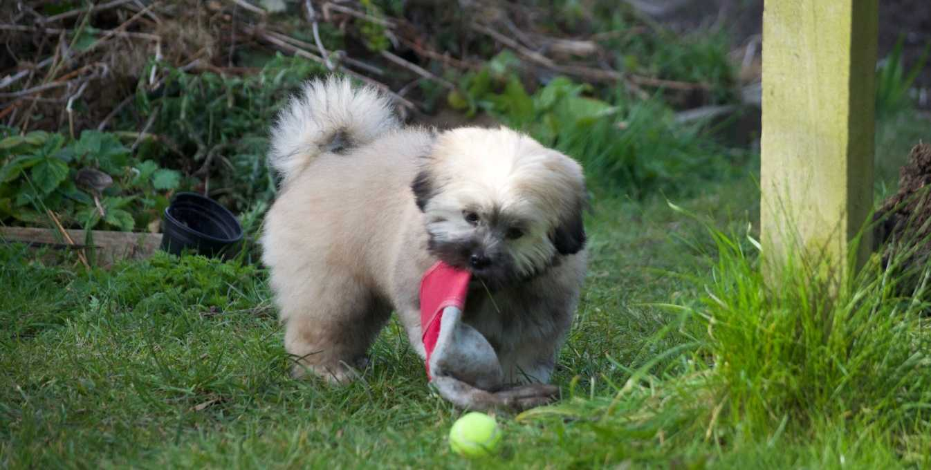 Puppy playing with a garden glove