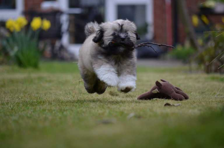 Lhasa Apso dog running in grass and jumping