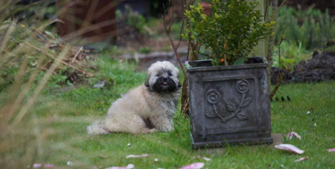 Puppy Lhasa Apso wet on the grass