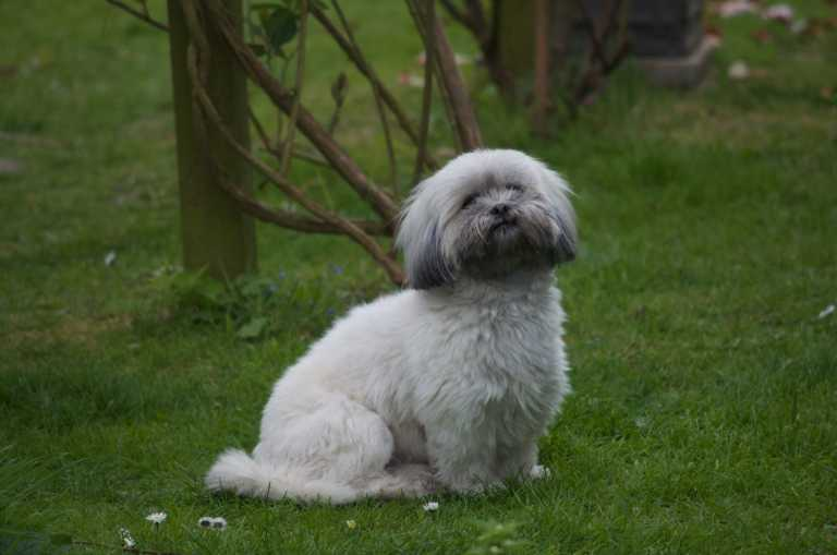 Lhasa Apso dog on the grass