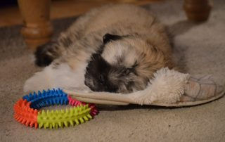 Puppy sleeping on a slipper