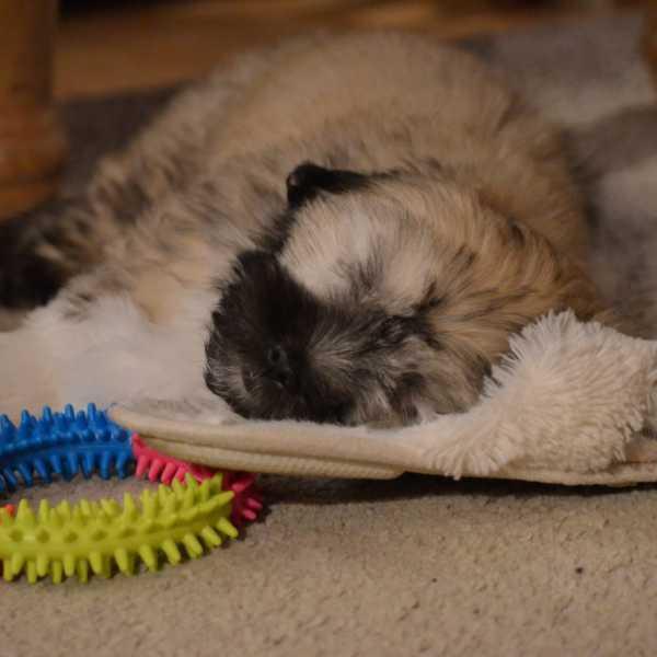 Puppy sleeping on a slipper