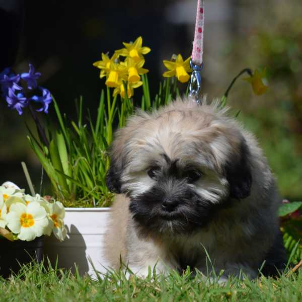 Lhasa Apso puppy eating grass