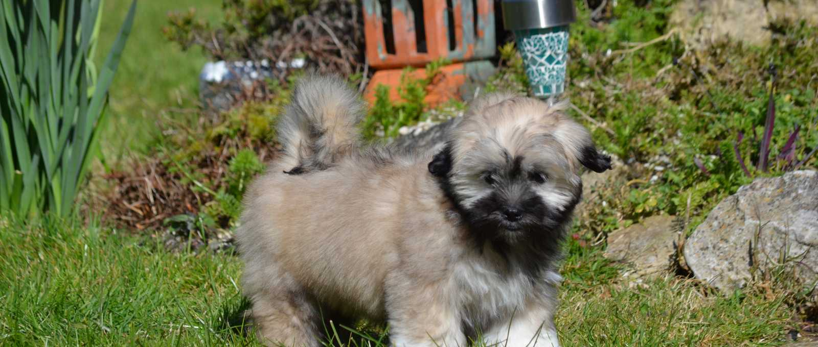 Lhasa Apso Puppy walking on the grass