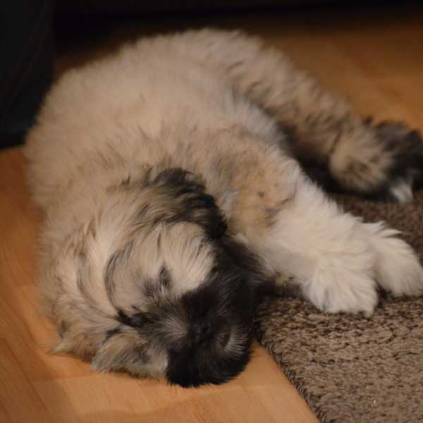 Lhasa Apso dog sleeping on the floor