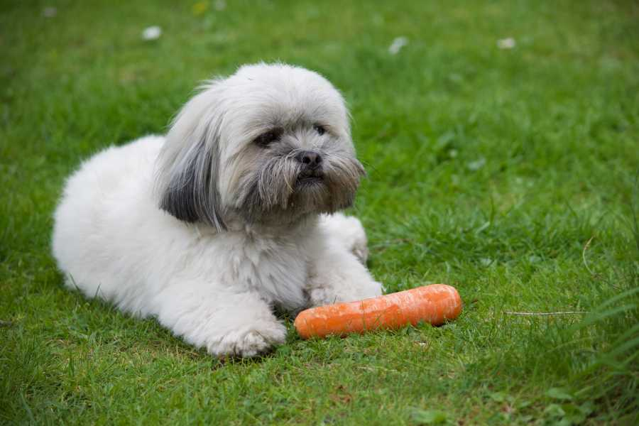 Lhasa Apso puppy eating a carrot