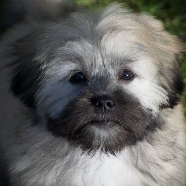 Lhasa Apso puppy face close up